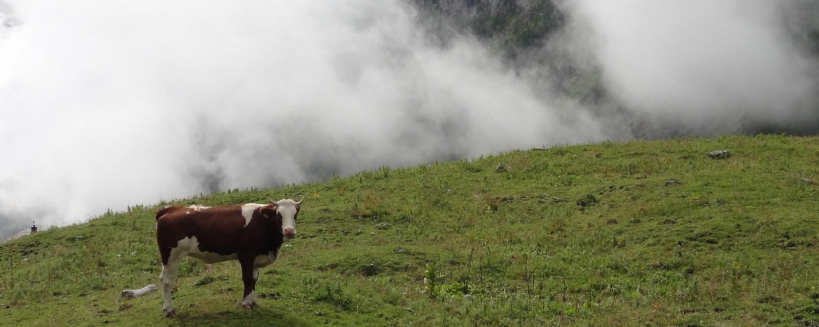 Arnoweg: Kuh auf der Jochalm