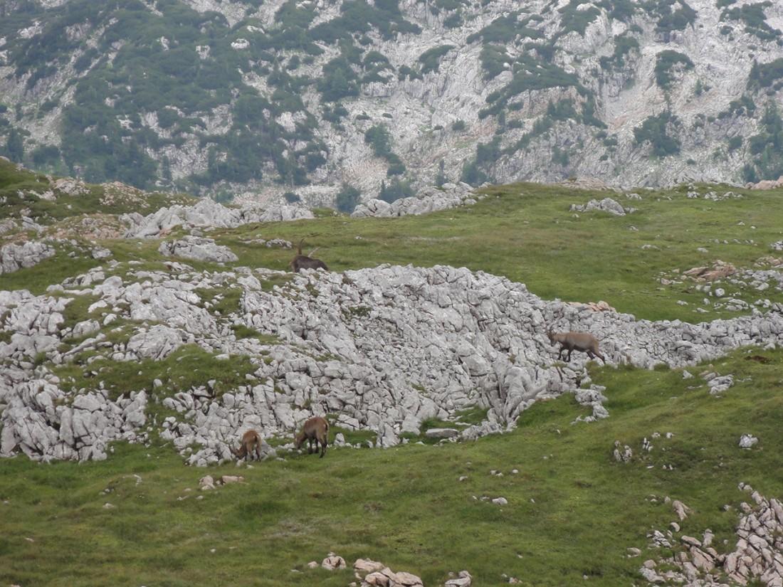Arnoweg: Steinböcke am Schneibstein
