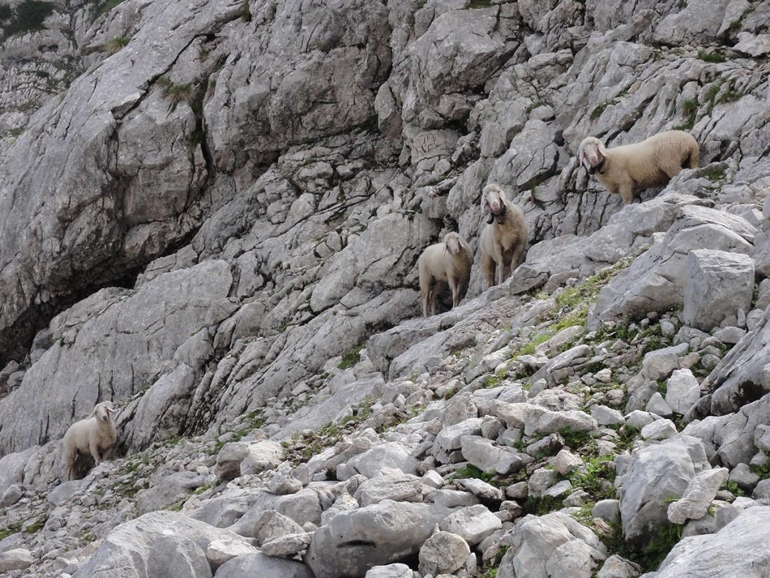 Arnoweg: Auch Schafe zieht es hoch hinauf