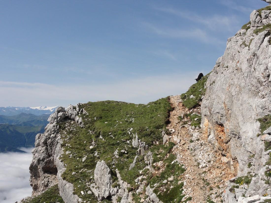 Arnoweg: Junges Schaf am Weg auf den Gipfel des Birnhorns