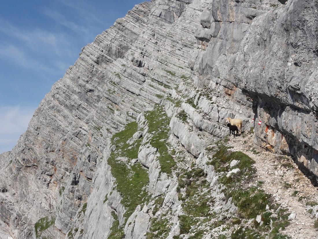 Arnoweg: Schafe in den Leoganger Steinbergen am Weg auf das Birnhorn (2634 m)