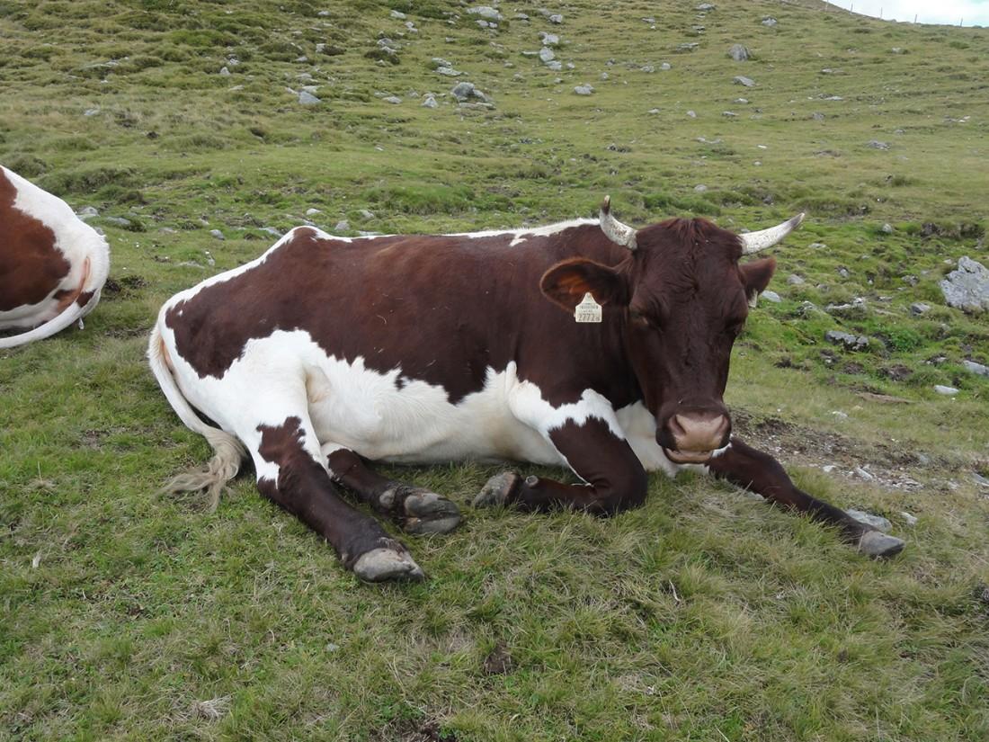 Arnoweg: Entlang der 15. Etappe trifft man am Pinzgauer Spaziergang auf viele Kühe.