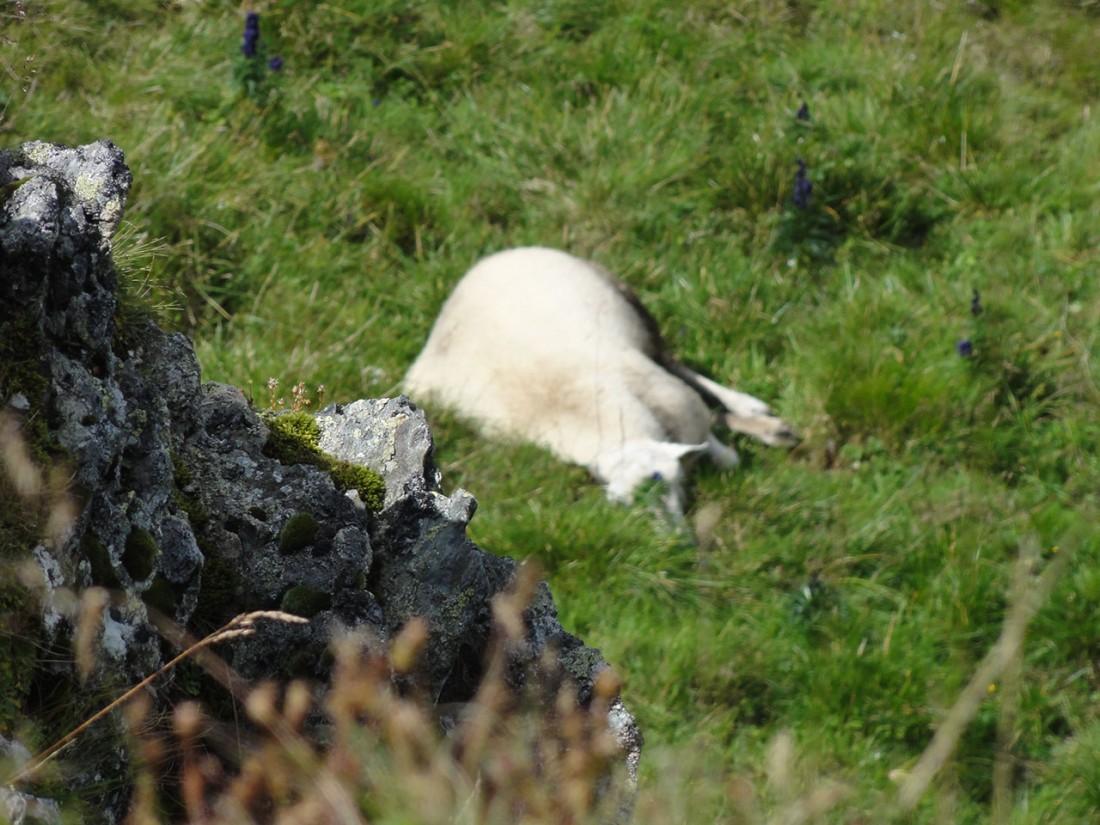 Arnoweg: Unter dem Gipfel des Hundsteins machten auch die Schafe eine verdiente Mittagspause.