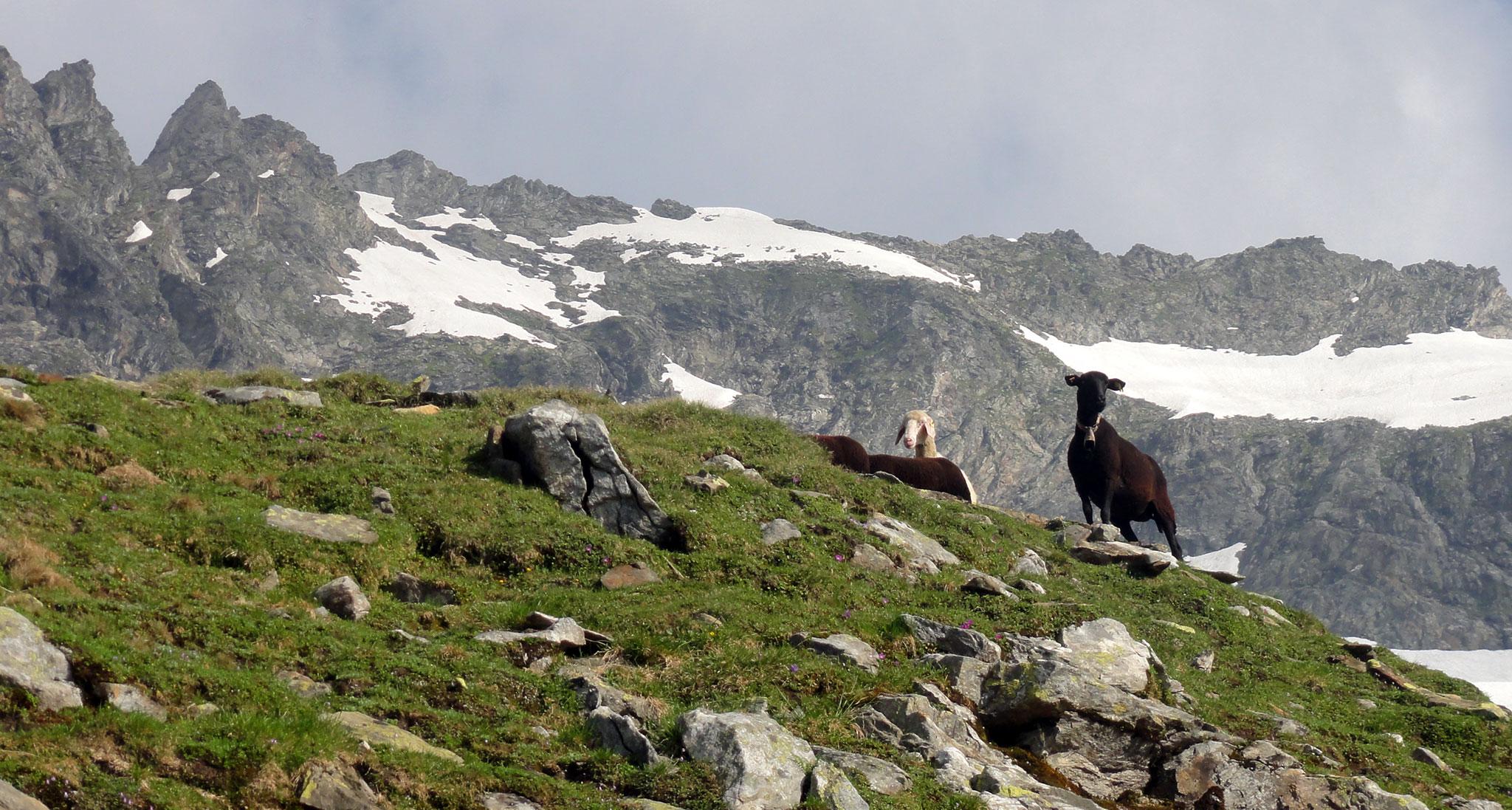 Arnoweg: Unzählige Schafe als ständige Begleiter entlang des St. Pöltner Westweg