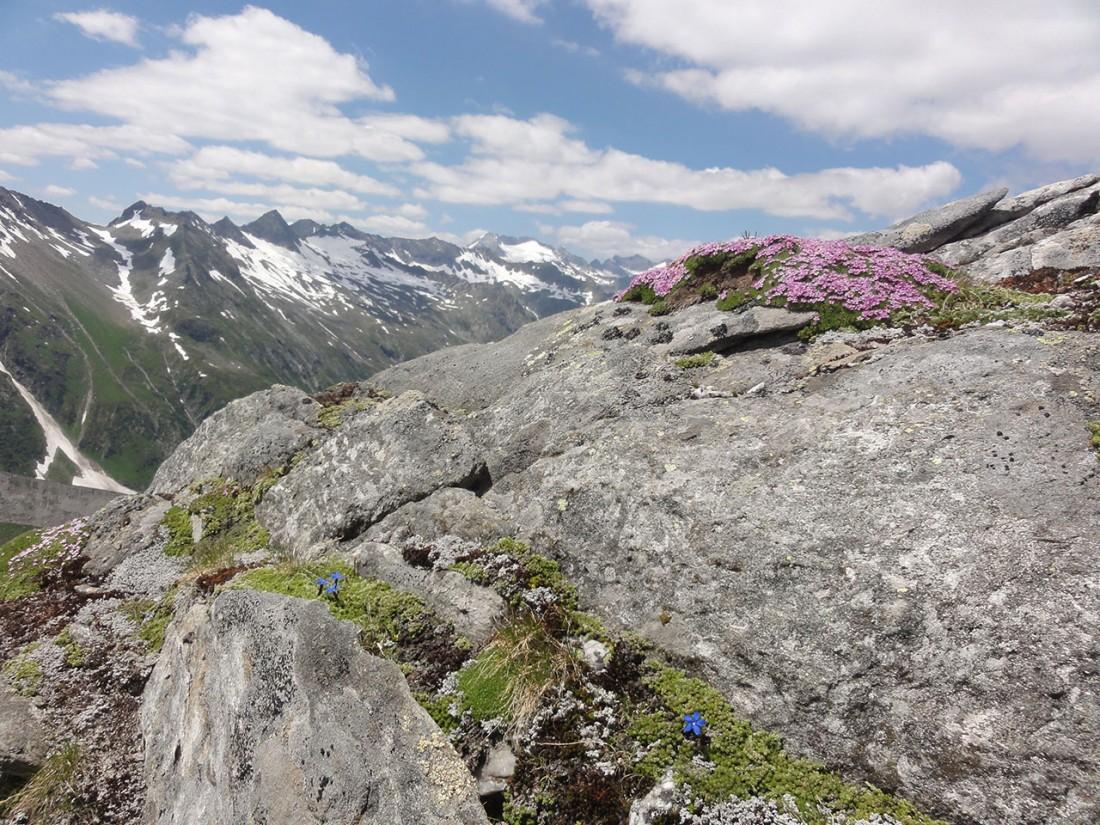 Arnoweg: Die Alpine Flora fühlt sich wohl.