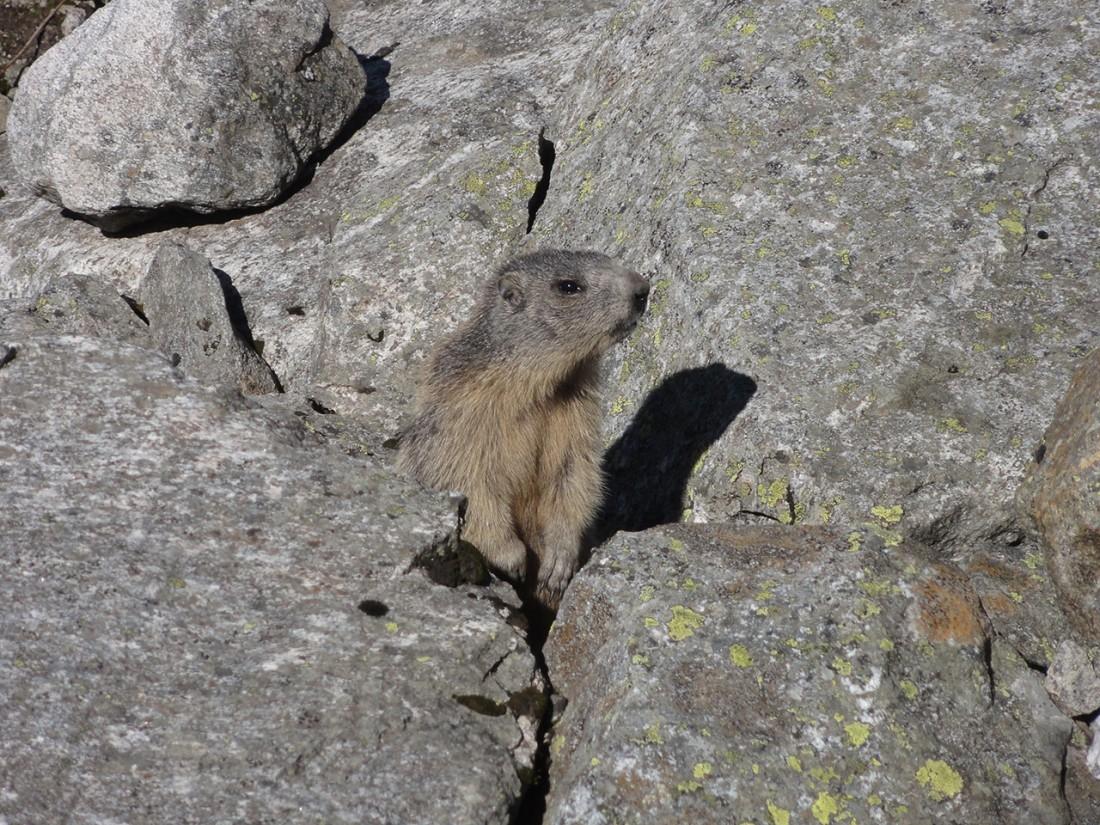Arnoweg: Die weniger scheuen Murmeltiere lassen sich auch aus der Nähe begrüßen.