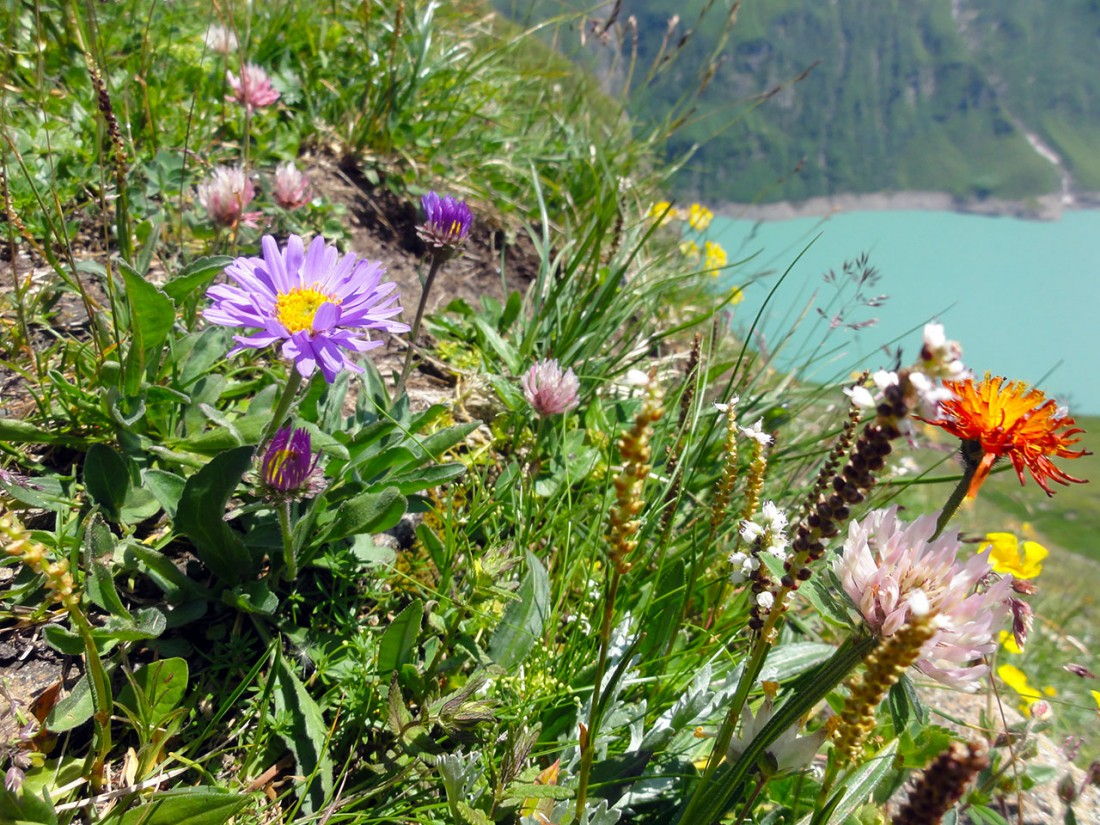 Arnoweg: Herrliche Blumenvielfalt und Farbenpracht beim Aufstieg Richtung Kammerscharte