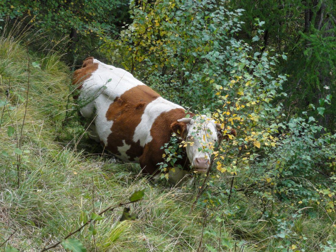 Arnoweg: Eine neugierige Kuh entlang Wanderwegs