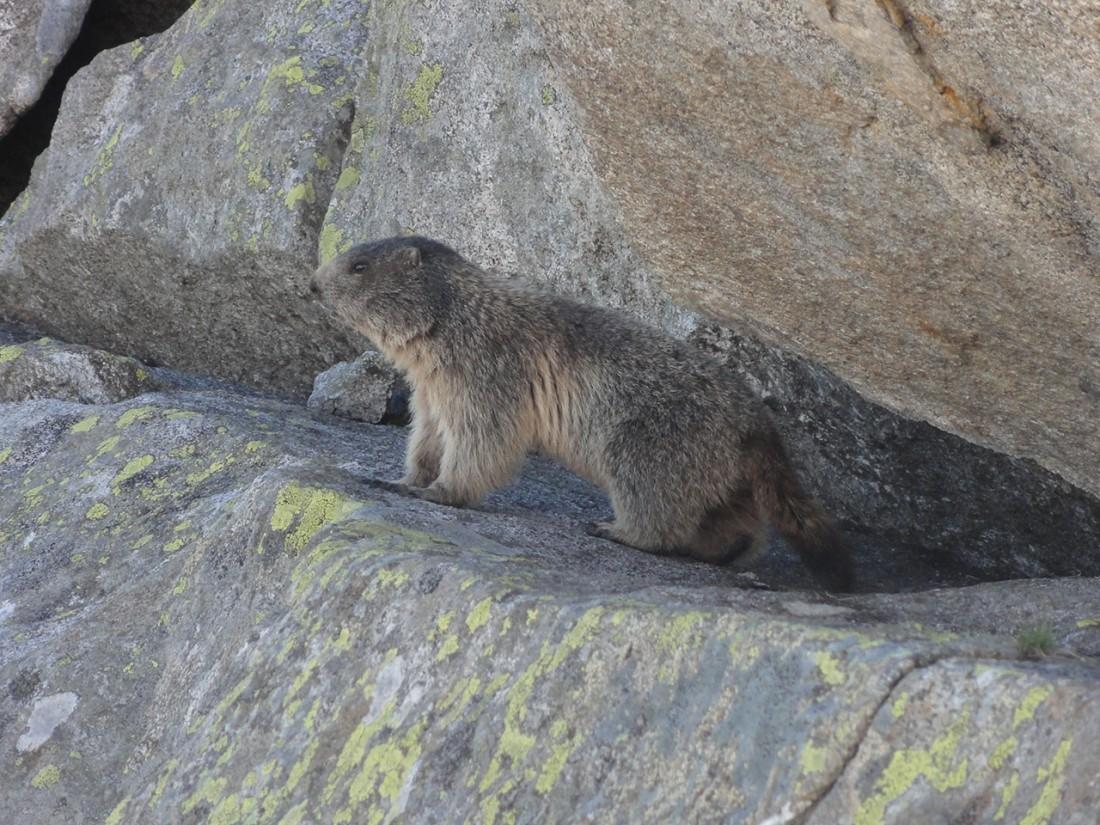 Arnoweg: Meine ständigen Begleiter beim Abstieg von der Kürsinger Hütte in den Talboden: äußerst neugierige Murmeltiere