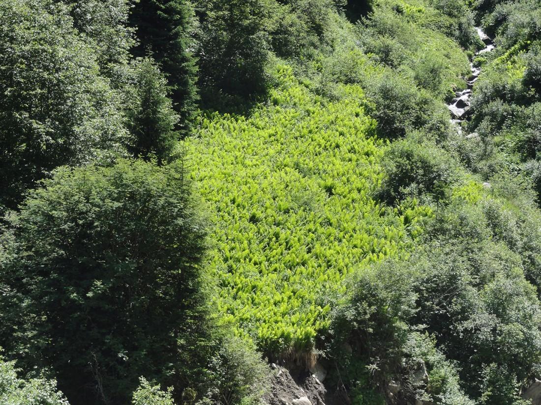 Arnoweg: Eine grüne Insel aus Farne ziert den Weg.