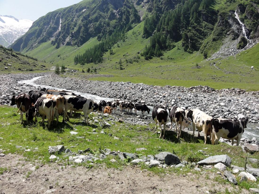 Arnoweg: Auch die Kühe spüren die Hitze und halten sich stets in Bachnähe auf.