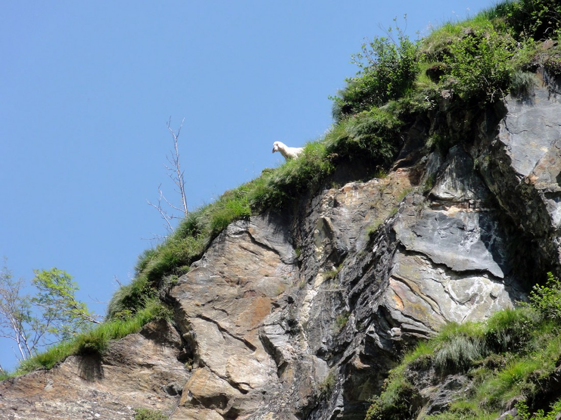 Arnoweg: Ein neugieriges Lamm beobachtet den Aufstieg.